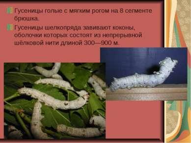 Гусеницы голые с мягким рогом на 8 сегменте брюшка. Гусеницы шелкопряда завив...