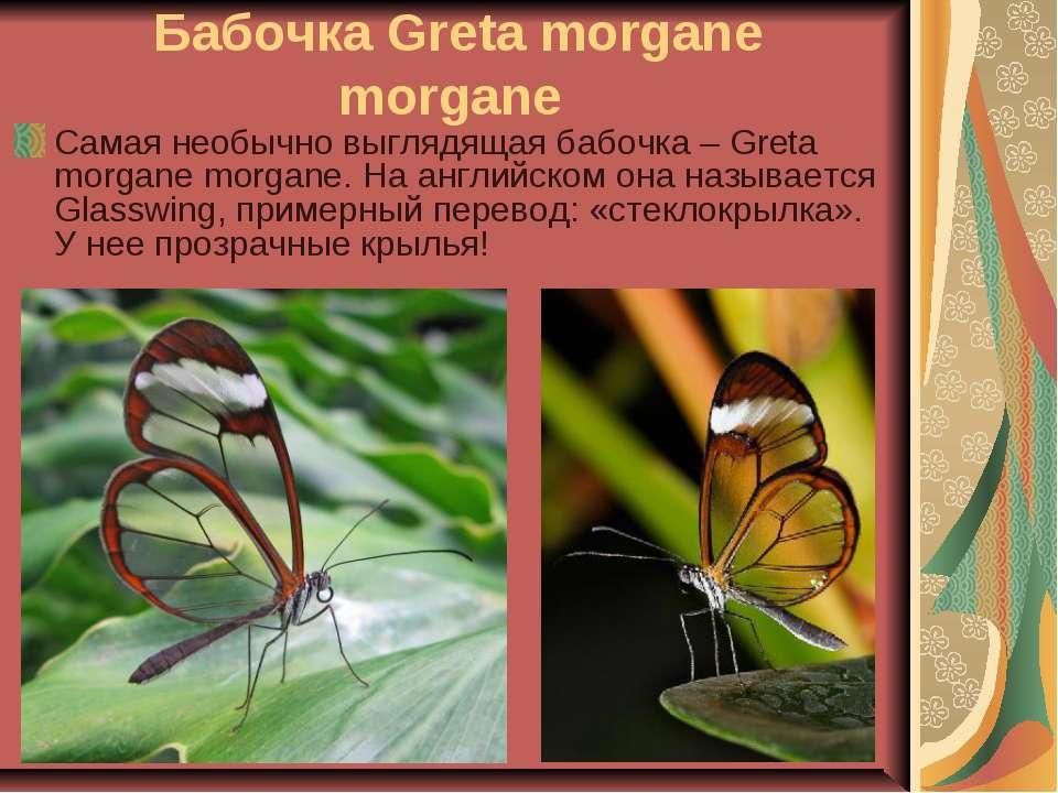 Бабочка Greta morgane morgane Самая необычно выглядящая бабочка – Greta morga...