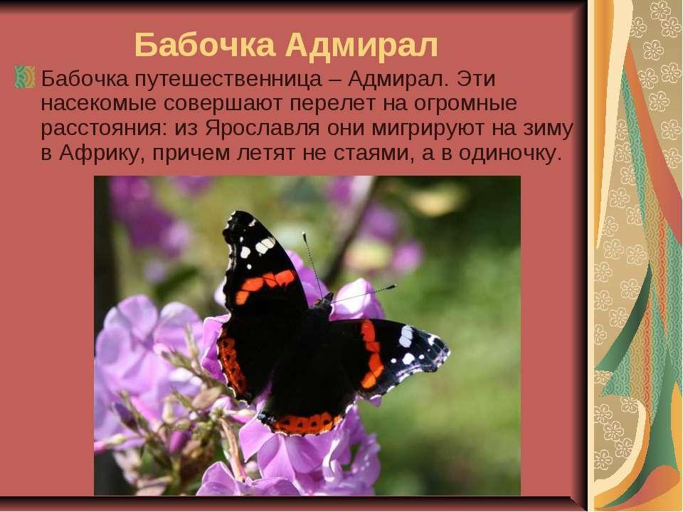 Бабочка Адмирал Бабочка путешественница – Адмирал. Эти насекомые совершают п...