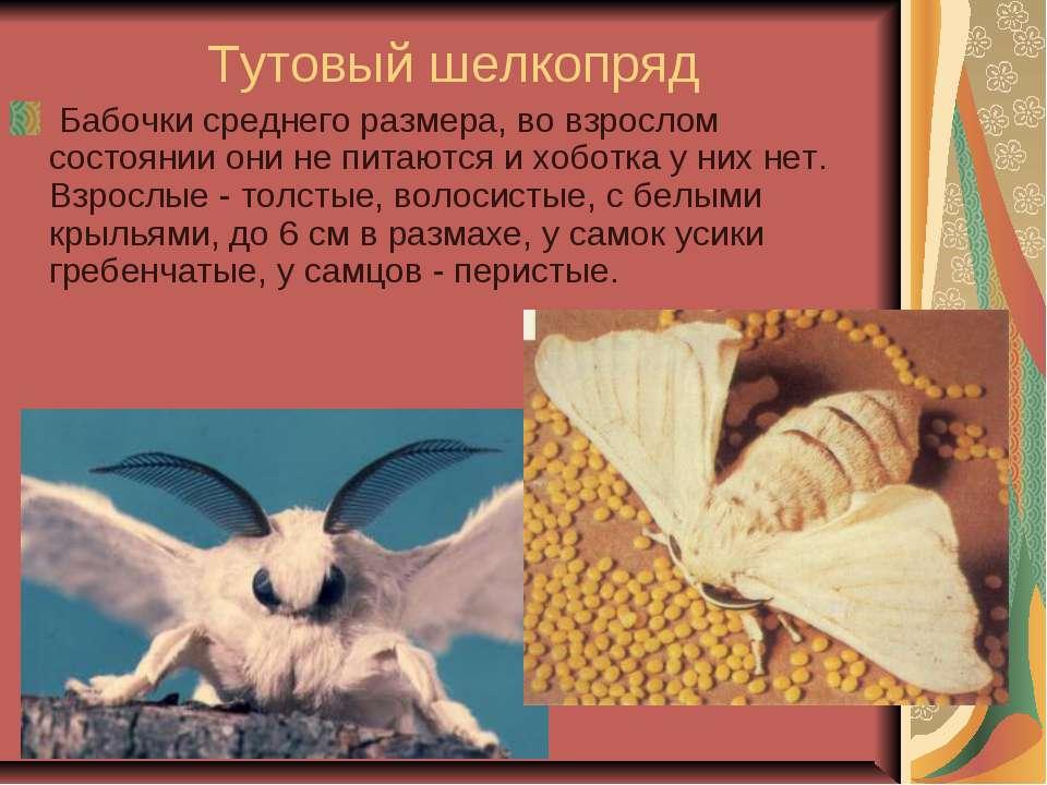 Тутовый шелкопряд Бабочки среднего размера, во взрослом состоянии они не пит...