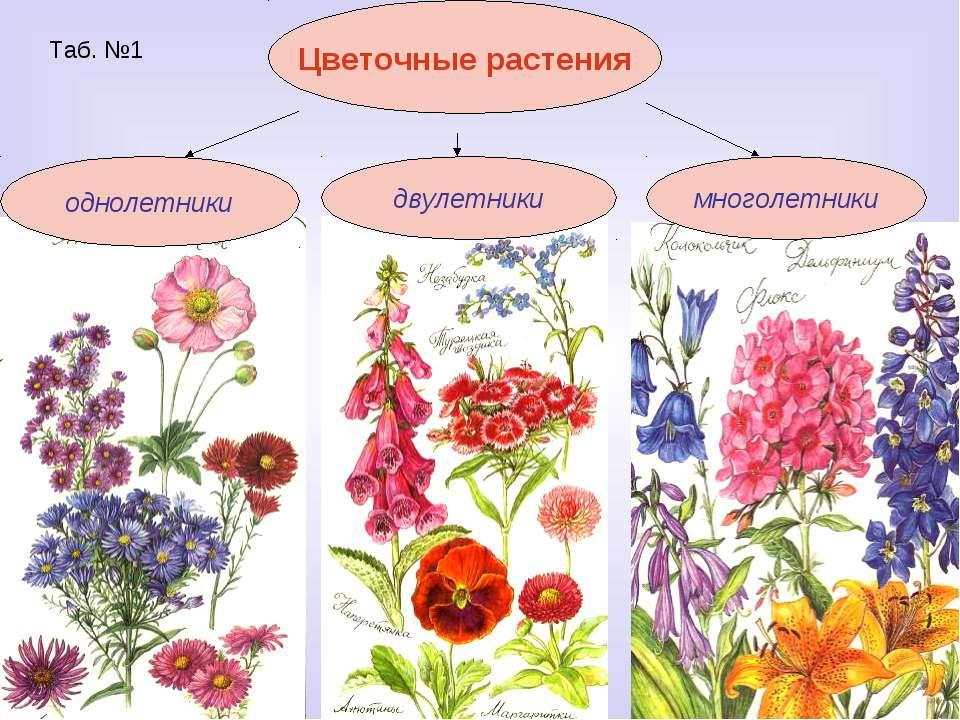 Таб. №1 Цветочные растения однолетники двулетники многолетники