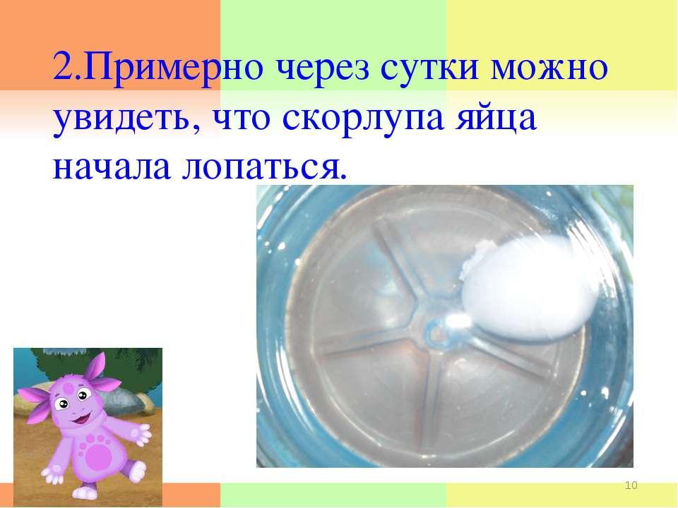 2.Примерно через сутки можно увидеть, что скорлупа яйца начала лопаться. * *