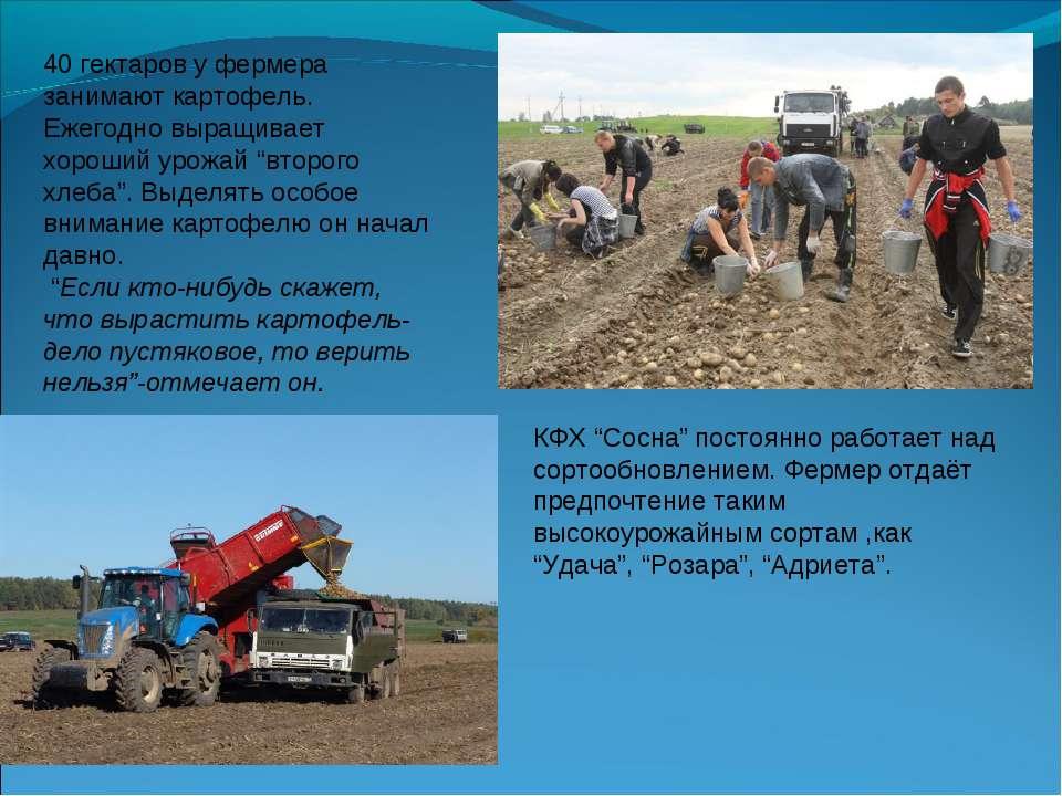 40 гектаров у фермера занимают картофель. Ежегодно выращивает хороший урожай ...