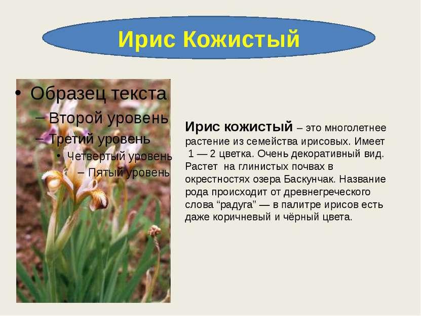 Ирис Кожистый Ирис кожистый – это многолетнее растение из семейства ирисовых....