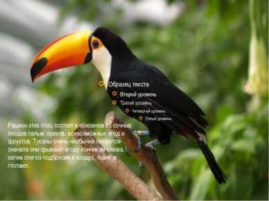 Рацион этих птиц состоит в основном из сочных плодов пальм, орехов, всевозмож...