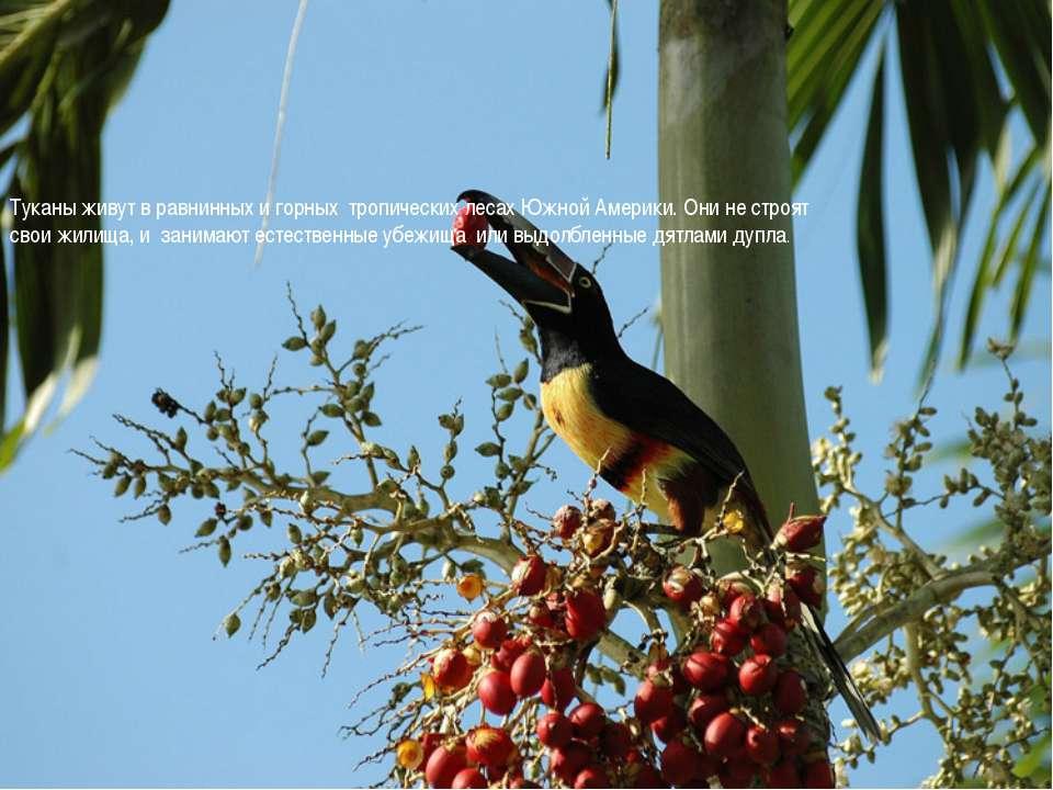 Туканы живут в равнинных и горных тропических лесах Южной Америки. Они не стр...