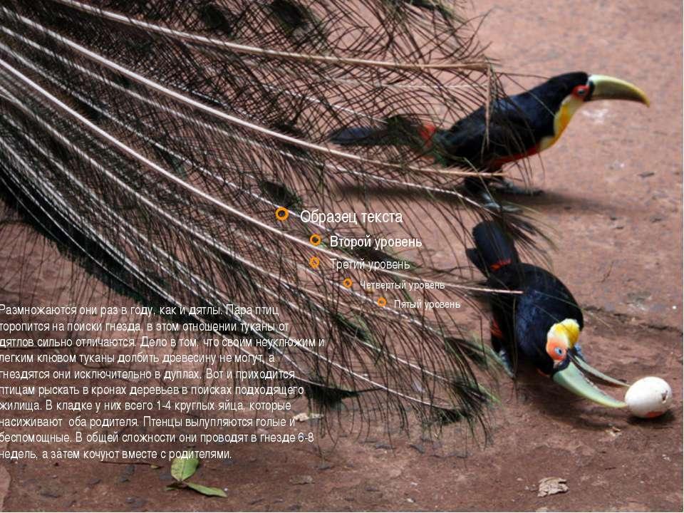 Размножаются они раз в году, как и дятлы. Пара птиц торопится на поиски гнезд...