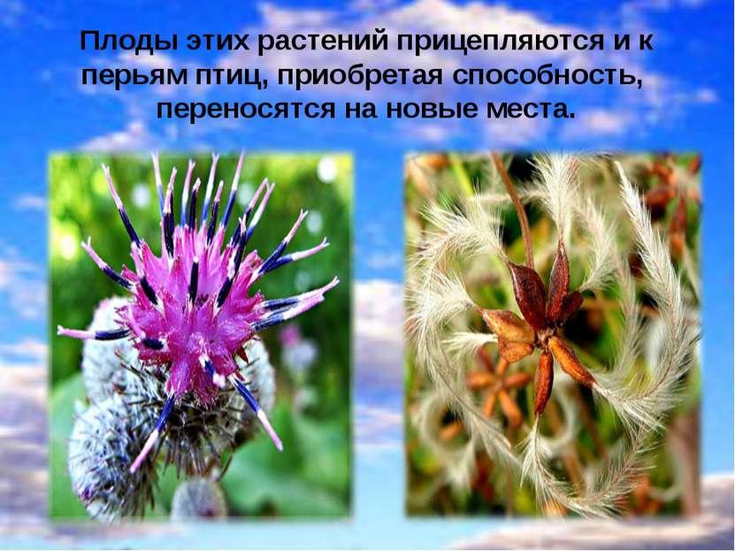 Плоды этих растений прицепляются и к перьям птиц, приобретая способность, пер...