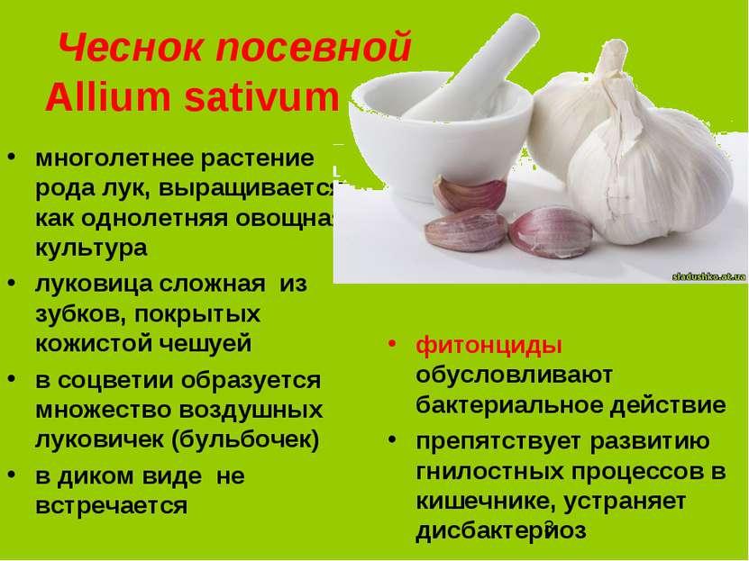 Чеснок посевной Аllium sativum многолетнее растение рода лук, выращивается ка...