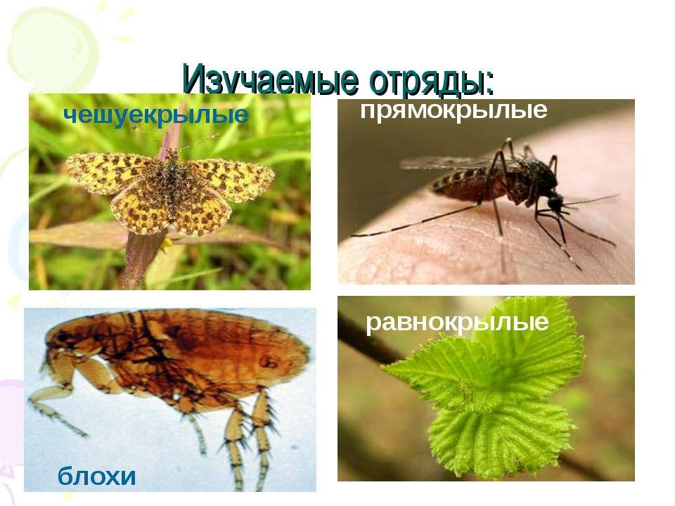 Изучаемые отряды: чешуекрылые прямокрылые равнокрылые блохи