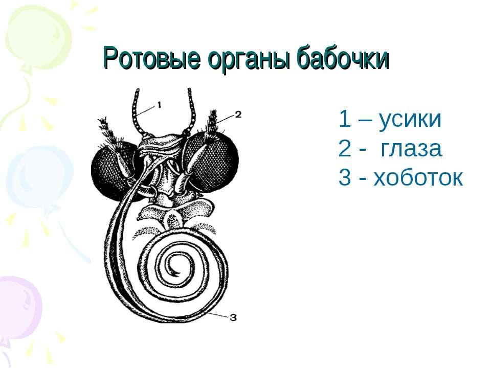 Ротовые органы бабочки 1 – усики 2 - глаза 3 - хоботок