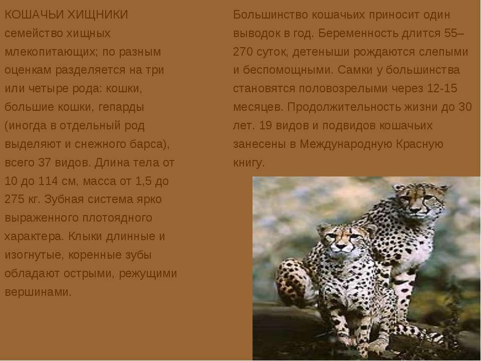 КОШАЧЬИ ХИЩНИКИ семейство хищных млекопитающих; по разным оценкам разделяется...