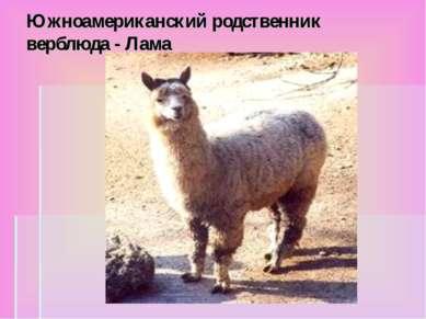 Южноамериканский родственник верблюда - Лама