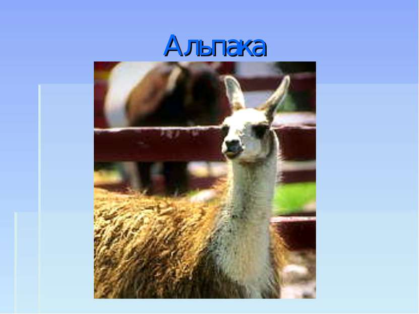 Альпака