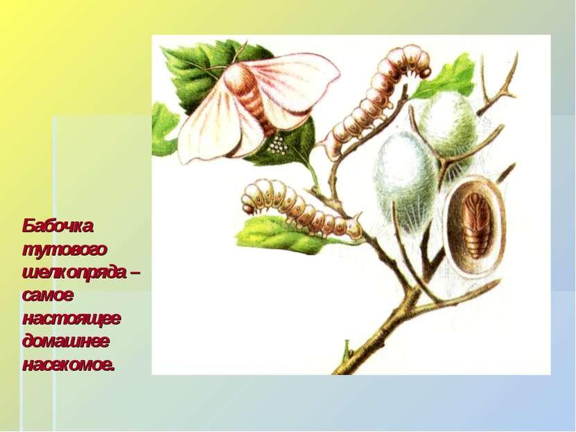 Бабочка тутового шелкопряда – самое настоящее домашнее насекомое.