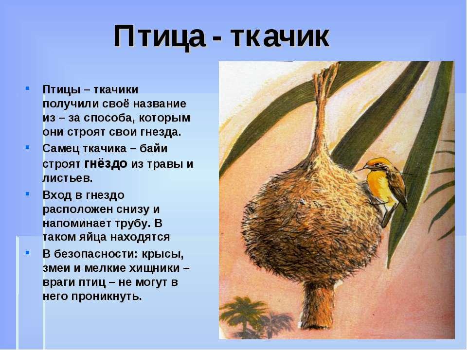 Птица - ткачик Птицы – ткачики получили своё название из – за способа, которы...