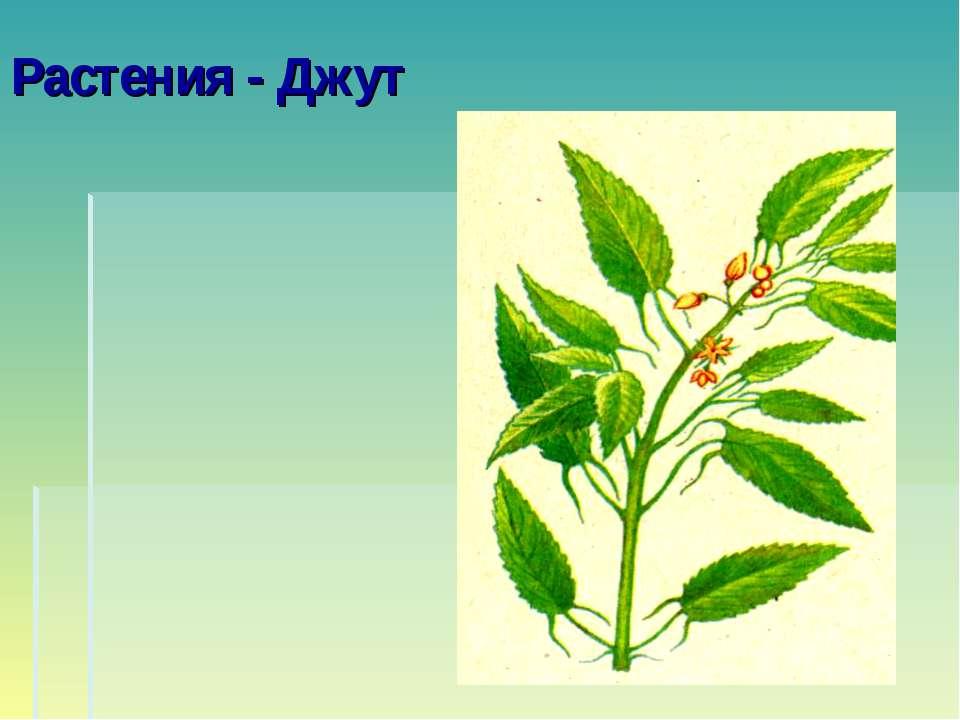 Растения - Джут