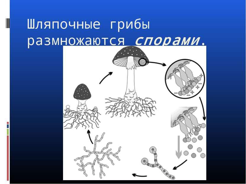 Шляпочные грибы размножаются спорами.