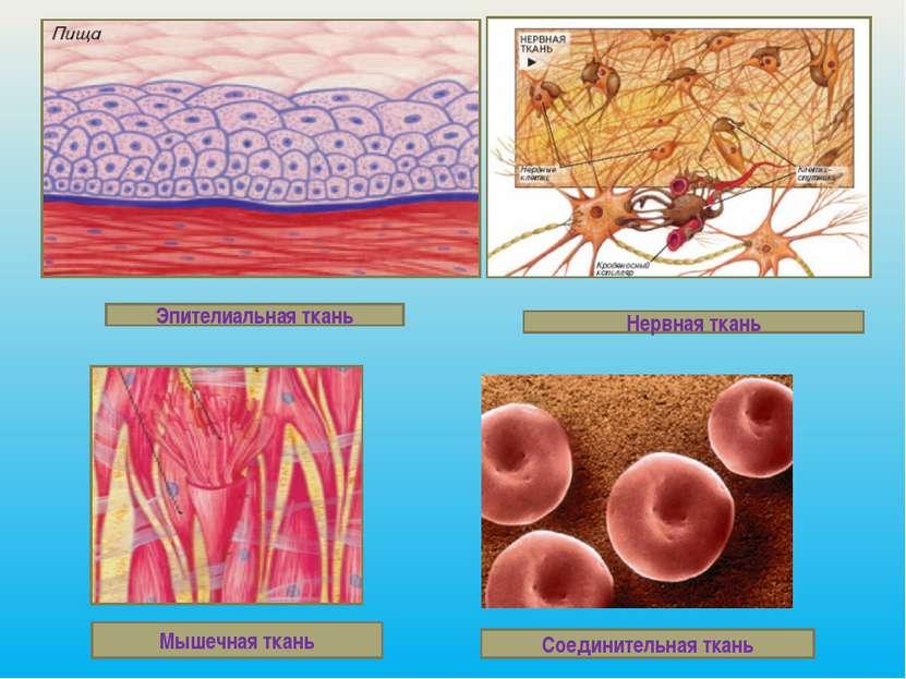 Эпителиальная ткань Нервная ткань Мышечная ткань Соединительная ткань