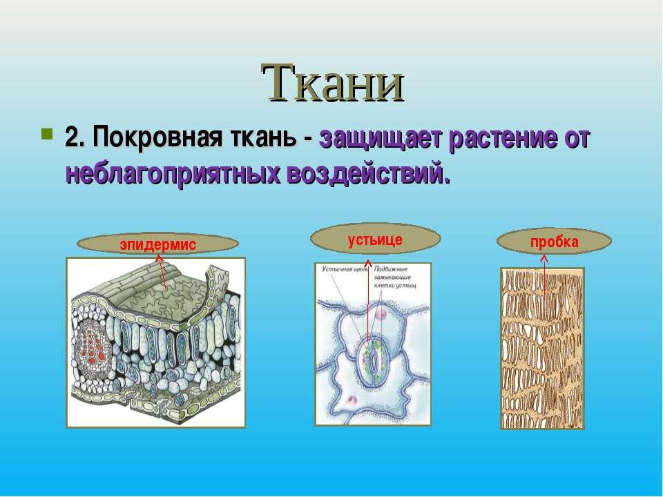 Ткани 2. Покровная ткань - защищает растение от неблагоприятных воздействий. ...