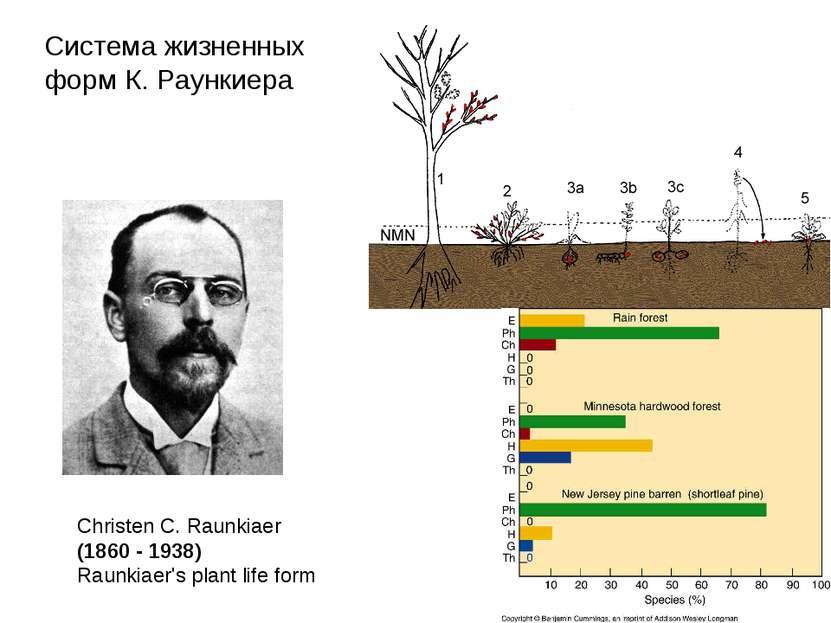 Christen C. Raunkiaer (1860 - 1938) Raunkiaer's plant life form Система жизне...