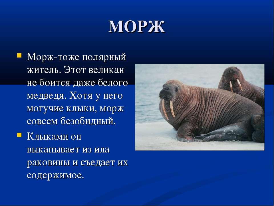МОРЖ Морж-тоже полярный житель. Этот великан не боится даже белого медведя. Х...