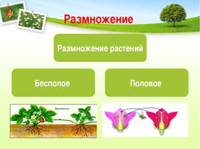 Размножение Размножение растений Бесполое Половое