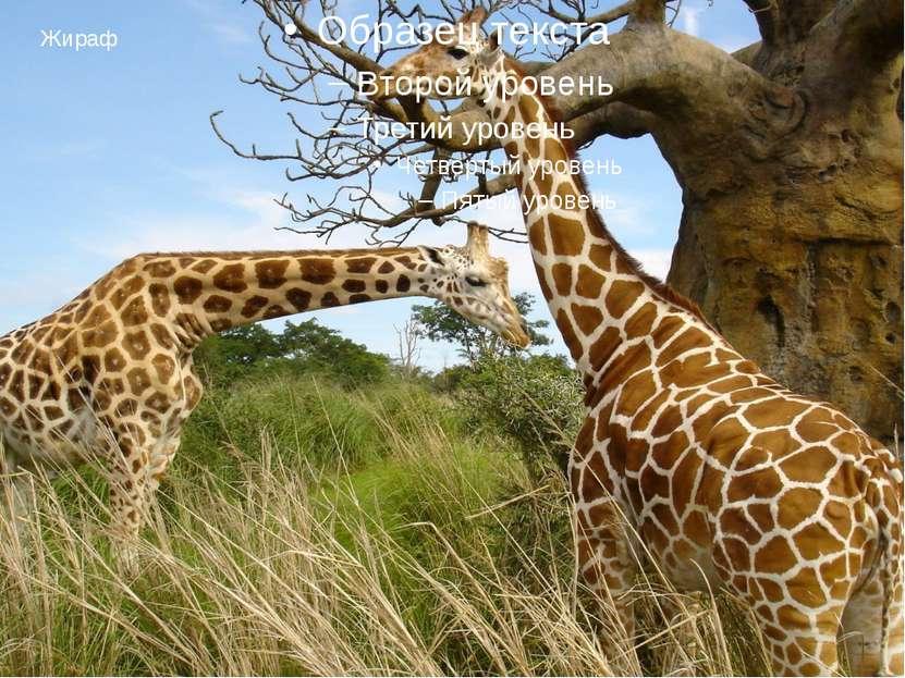 Жираф Жираф