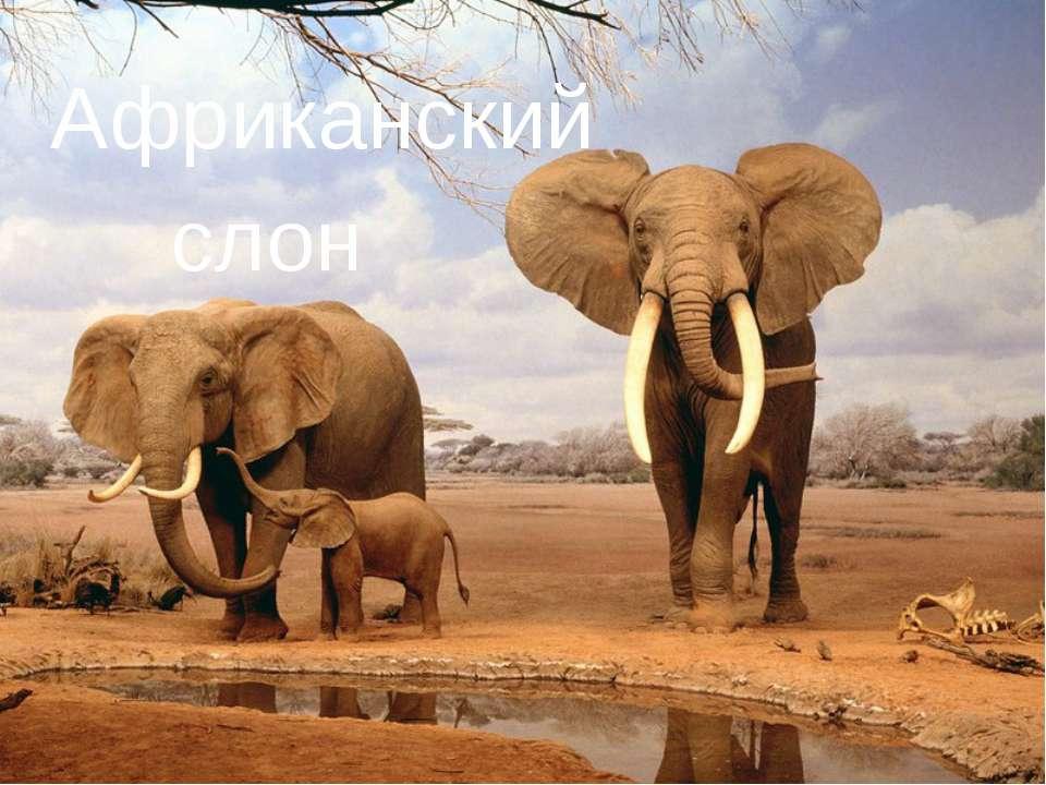 Африканский слон слон