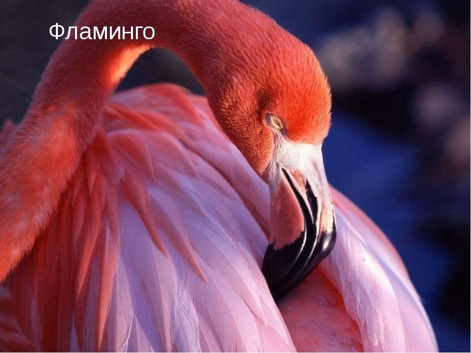 Ф Фламинго Фламинго
