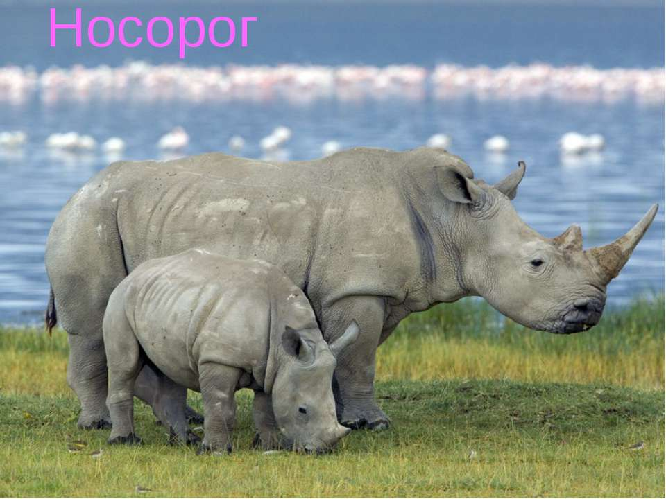 Носорог Носорог