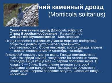 Синий каменный дрозд (Monticola solitarius) Синий каменный дрозд (Monticola s...