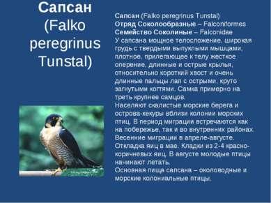 Сапсан (Falko peregrinus Tunstal) Сапсан (Falko peregrinus Tunstal) Отряд Сок...
