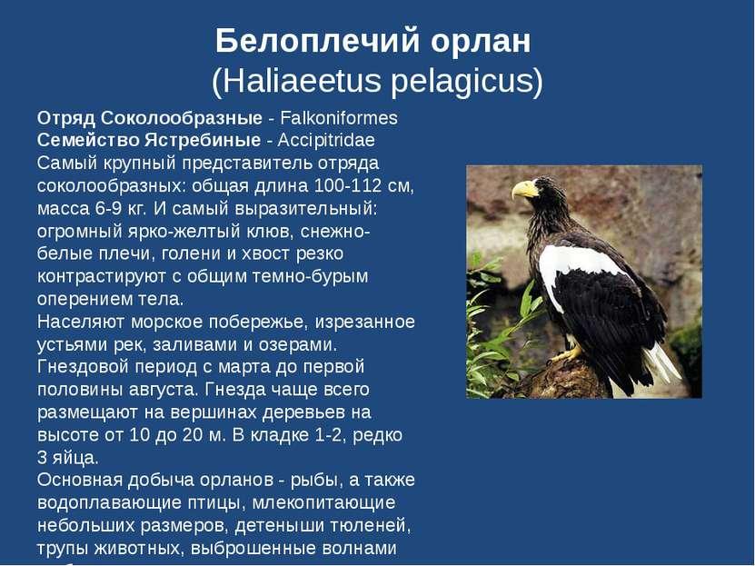 Белоплечий орлан (Haliaeetus pelagicus) Отряд Соколообразные - Falkoniformes ...