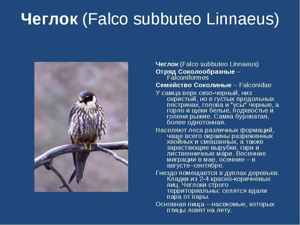 Чеглок (Falco subbuteo Linnaeus) Чеглок (Falco subbuteo Linnaeus) Отряд Сокол...