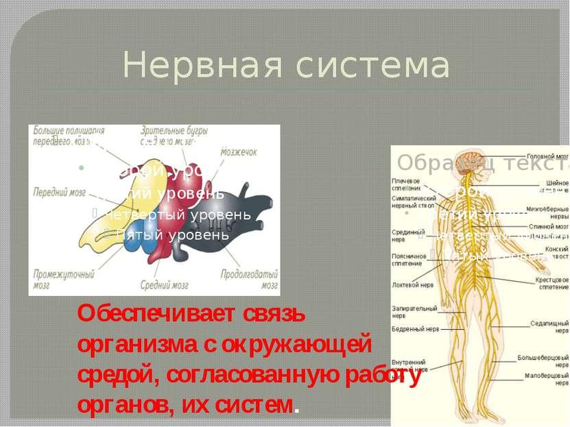 Нервная система Обеспечивает связь организма с окружающей средой, согласованн...