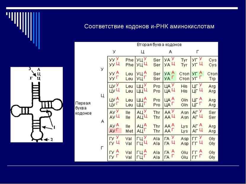Соответствие кодонов и-РНК аминокислотам