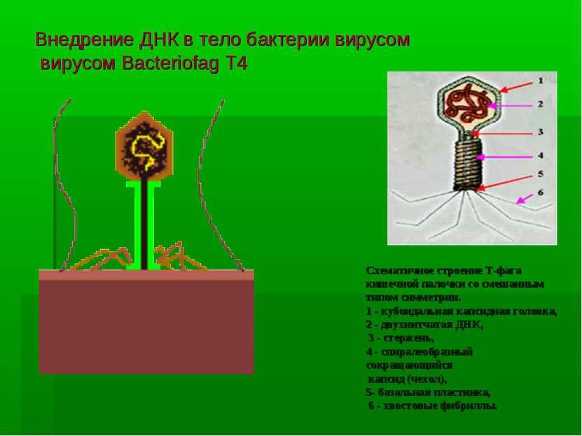Внедрение ДНК в тело бактерии вирусом вирусом Bacteriofag T4 Схематичное стро...