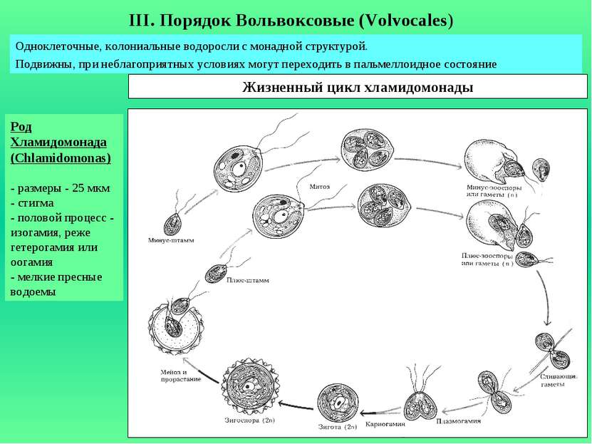 Род Хламидомонада (Chlamidomonas) - размеры - 25 мкм - стигма - половой проце...
