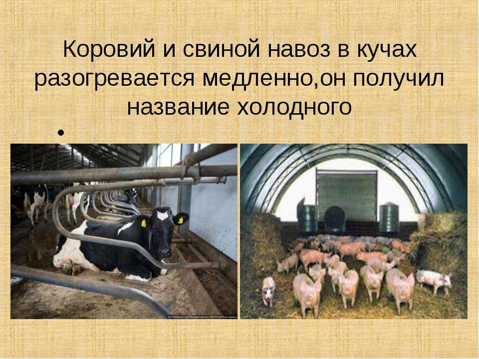 Коровий и свиной навоз в кучах разогревается медленно,он получил название хол...
