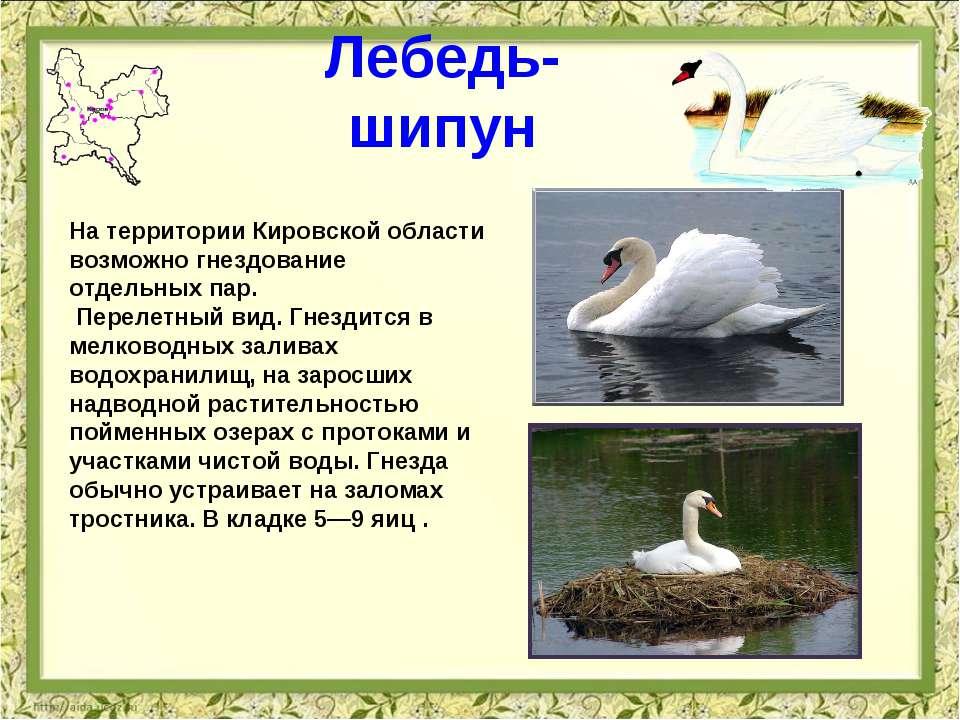 Лебедь-шипун На территории Кировской области возможно гнездование отдельных п...