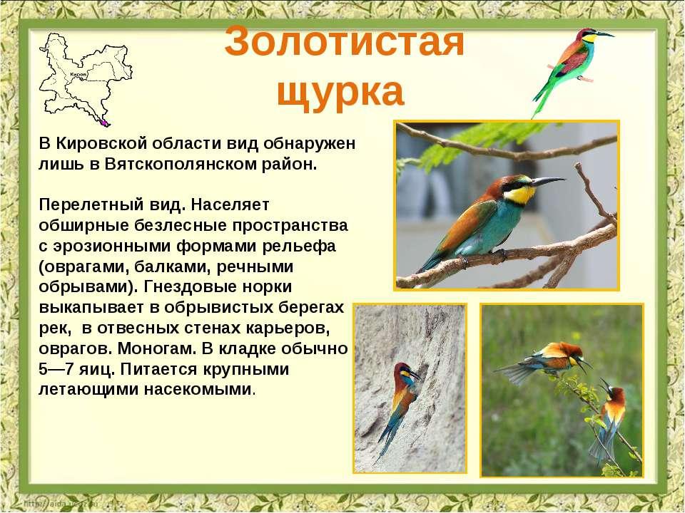 Золотистая щурка В Кировской области вид обнаружен лишь в Вятскополянском рай...