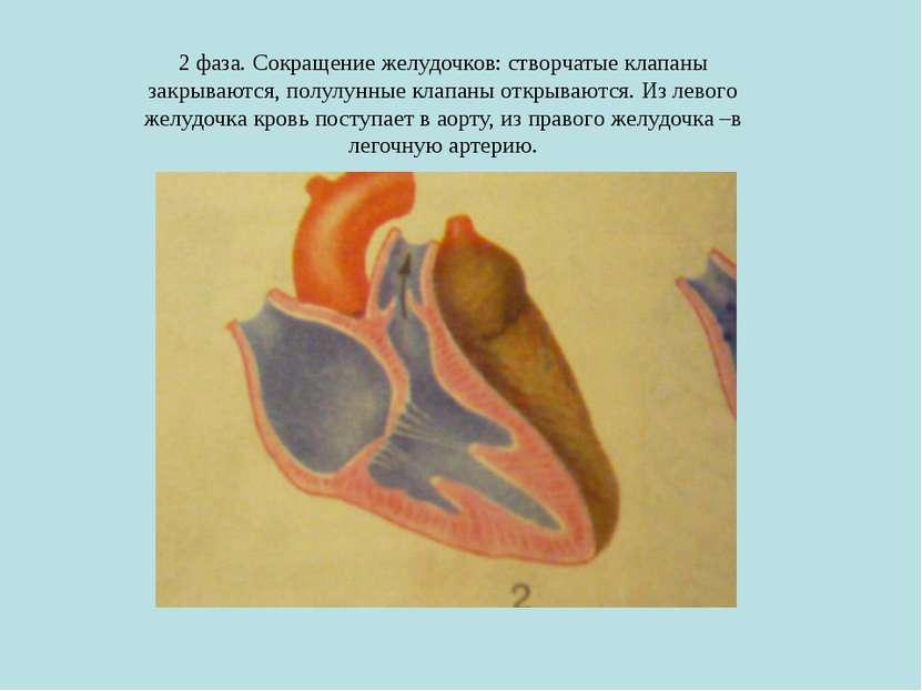 2 фаза. Сокращение желудочков: створчатые клапаны закрываются, полулунные кла...