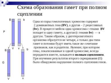 Схема образования гамет при полном сцеплении P G V b B v B b V v Одна из пары...