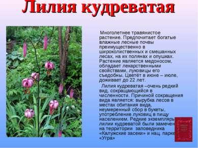 Лилия кудреватая Многолетнее травянистое растение. Предпочитает богатые влажн...