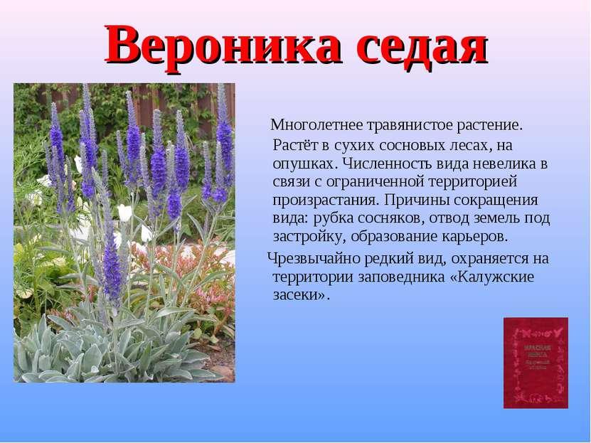Вероника седая Многолетнее травянистое растение. Растёт в сухих сосновых леса...
