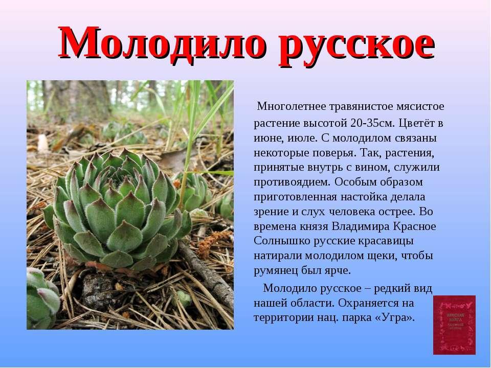 Молодило русское Многолетнее травянистое мясистое растение высотой 20-35см. Ц...