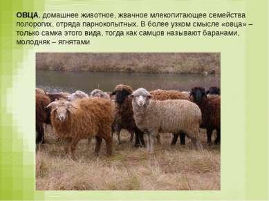 ОВЦА, домашнее животное, жвачное млекопитающее семейства полорогих, отряда па...
