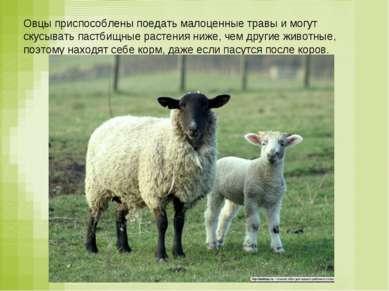 Овцы приспособлены поедать малоценные травы и могут скусывать пастбищные раст...