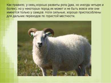 Как правило, у овец хорошо развиты рога (два, но иногда четыре и более), но у...